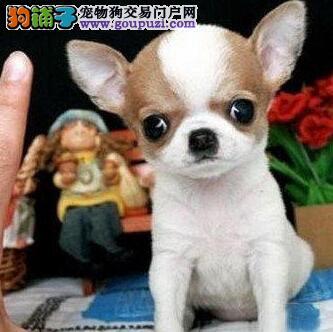 太原繁殖基地出售吉娃娃幼犬 全程防疫监控送狗证