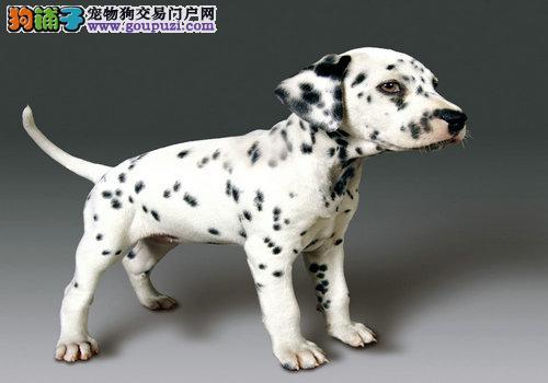 北京出售黑白闪烁斑点狗动作灵敏大麦町犬幼犬聪明好动