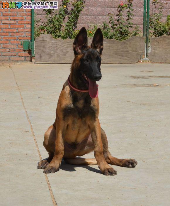 南宁大型养殖场直销马犬幼犬,不纯有病包退换。