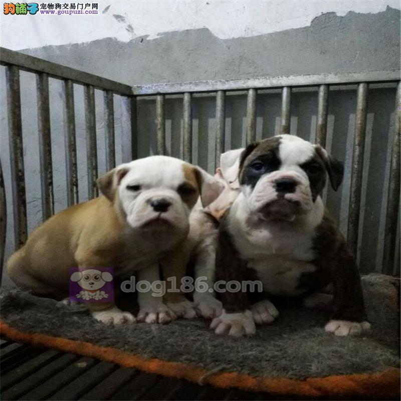 权威机构认证犬舍 专业培育美国斗牛犬幼犬质量三包完美售后