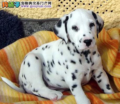 北京斑点狗犬舍出售高端斑点狗幼犬 保证纯种健康