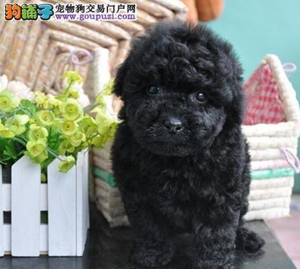 西安优惠出售健康纯种泰迪犬 活泼可爱 聪明机智3