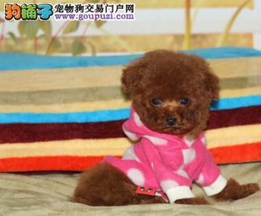 西安优惠出售健康纯种泰迪犬 活泼可爱 聪明机智