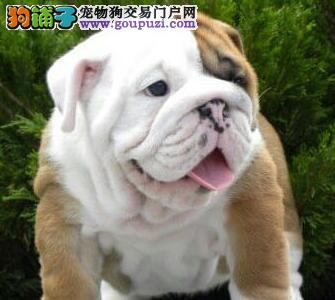 憨憨的丑星英牛幼犬武汉出售 CKU认证犬舍 品相极佳2