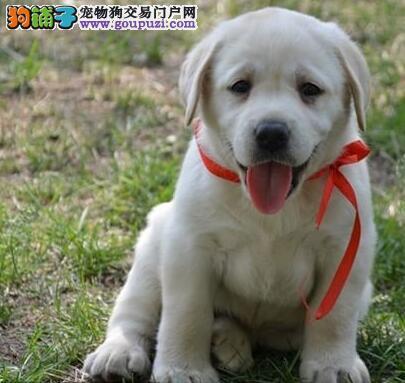 高端品质拉布拉多犬神犬小七 导盲犬太原市售
