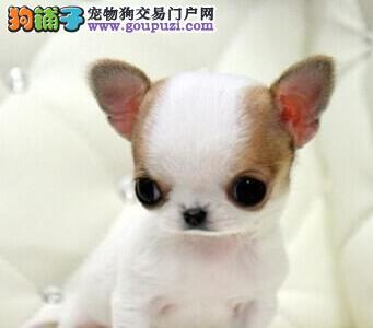 (实体店)纯种可爱的 吉娃娃狗狗 出售