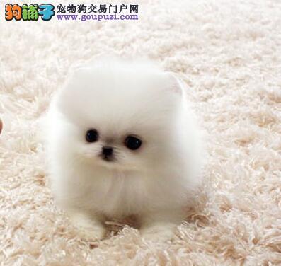 活泼可爱哈多利版博美犬杭州正规狗场热销 有问题可退