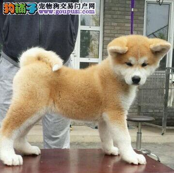 日系秋田犬因个人原因低价出售南京的朋友可上门看狗