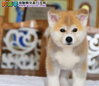 北京直销日系秋田犬宝宝 尊贵品质高端伴侣犬忠犬八公