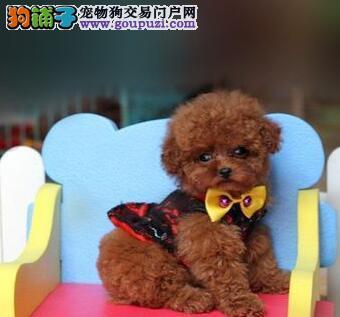 泰迪犬 不以价格惊天下 但以品质惊世人价格美丽品质优良