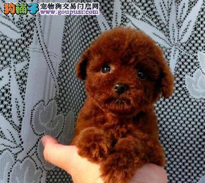 出售微小体型的唐山泰迪幼犬 多只幼犬任大家选择