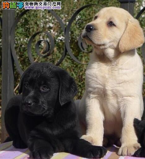 太原出售纯种拉布拉多犬 单双血统证书芯片保证健康