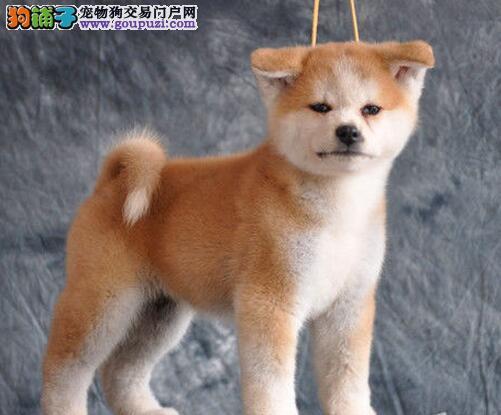 出售正宗日系纯种北京秋田犬 可以送狗狗上门给您选择