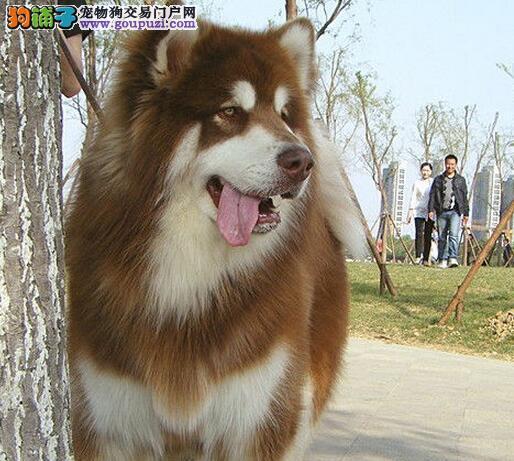 纯正巨型的杭州阿拉斯加雪橇犬找新家 图片均实物拍摄2
