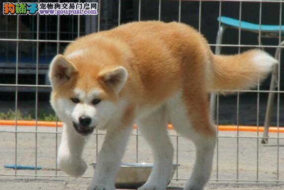 南昌专业繁殖秋田犬 自家直销 签订售后协议 可见父母
