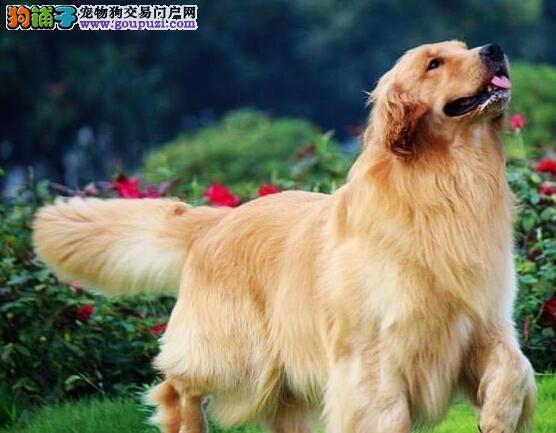 低价出售顶级大骨架长沙金毛犬 冠军级血系保纯度