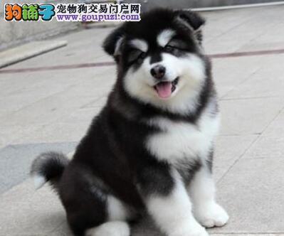 赛级黑十字脸阿拉斯加雪橇犬幼犬(可货到付款)