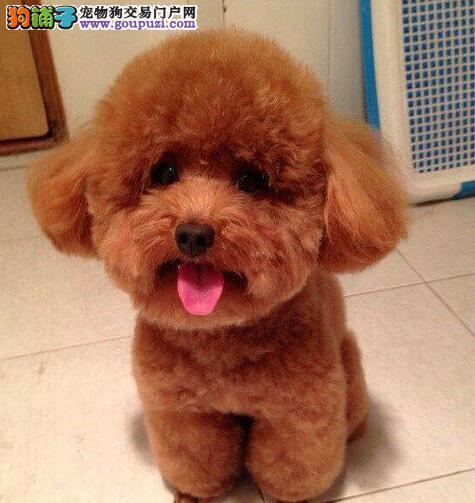 成都养殖基地出售六种颜色齐全的泰迪犬 请您放心选购1