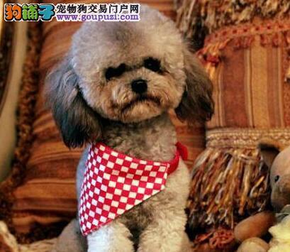 权威机构认证犬舍 专业培育贵宾犬幼犬下单有礼全国包邮