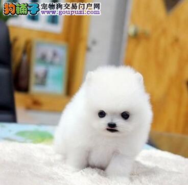 渭南专业繁殖纯种博美犬幼犬 血统纯正签协议保健康