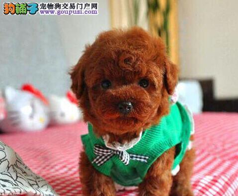 莆田出售泰迪犬幼犬品质好有保障终身售后保障