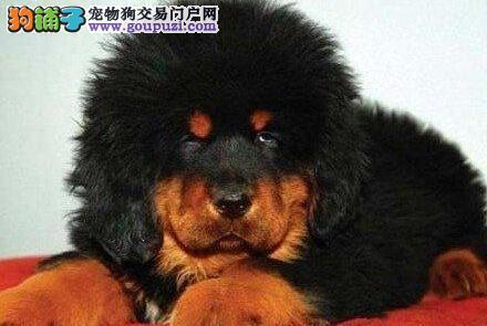 犬瘟热 藏獒免疫失败怎么办