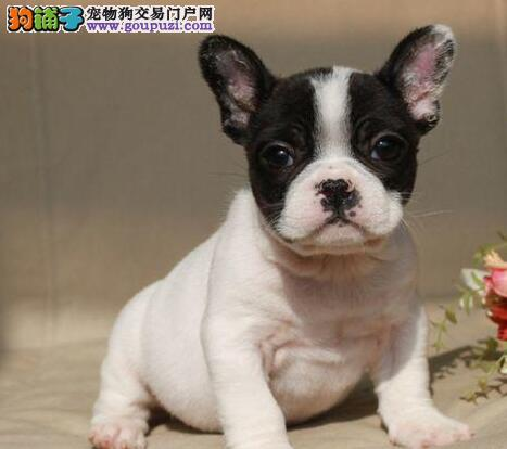 转让精品优质杭州斗牛犬 支持空运发货可办理血统证书