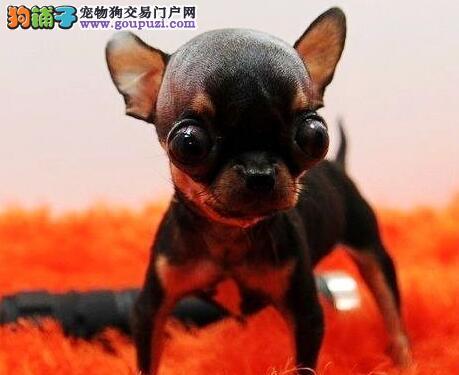 低价促销体型娇小的南昌吉娃娃犬 大眼睛品相极佳