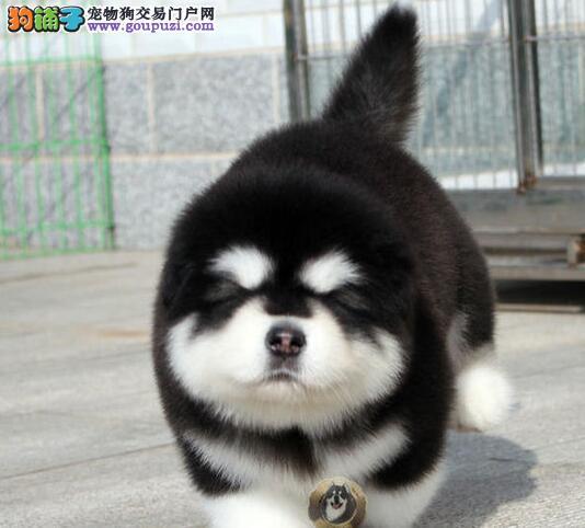 赛级黑十字脸阿拉斯加雪橇犬幼犬(可货到付款)3
