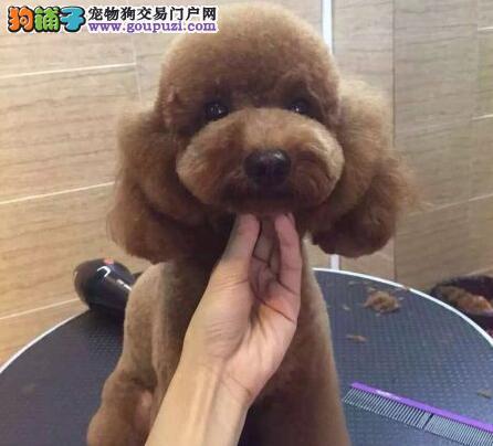 天津热卖泰迪犬多只挑选视频看狗一宠一证视频挑选