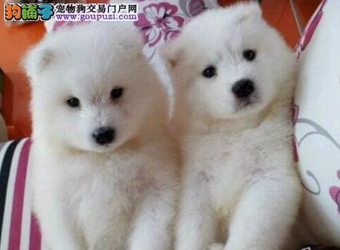 杭州狗场出售萨摩耶犬 骨骼粗毛量足购犬送狗粮