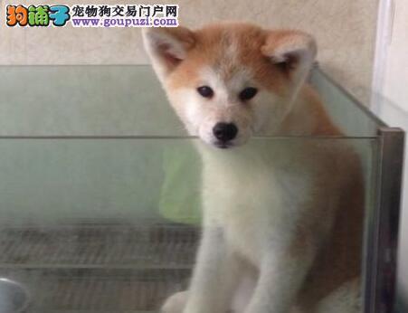 出售精品秋田犬 实物拍摄直接视频 提供养护指导