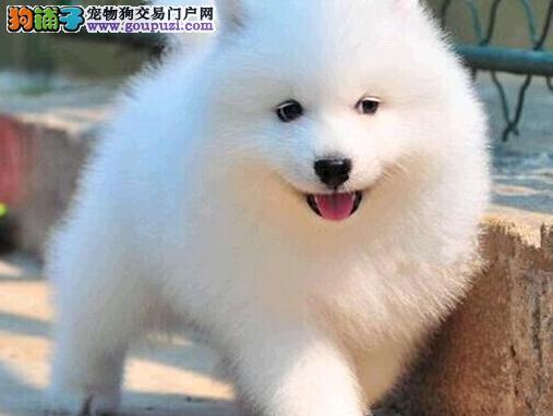 杭州专业狗场繁殖萨摩耶犬幼犬 包养活签协议有保障1
