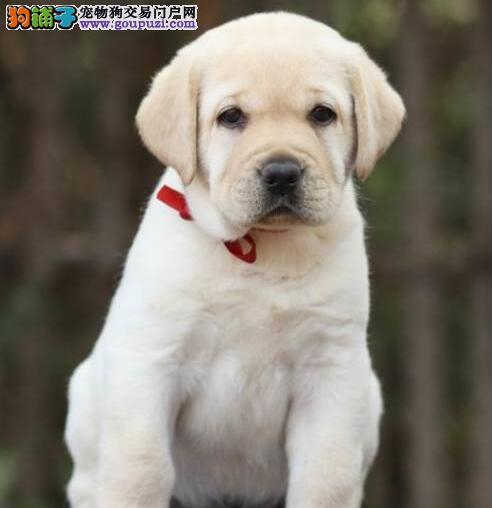 出售冠军血系成都拉布拉多犬 可办理空运有防疫证书2