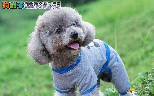 赛级品相贵宾犬幼犬低价出售签订合法售后协议
