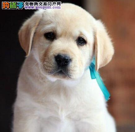 出售冠军血系成都拉布拉多犬 可办理空运有防疫证书