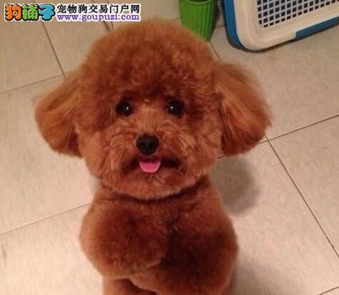 毛量大面相甜美的广州泰迪犬找新家最优信誉最诚服务2