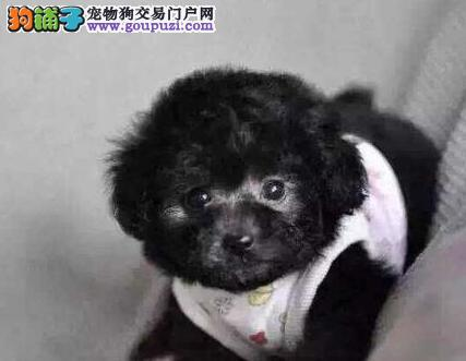 毛量大面相甜美的广州泰迪犬找新家最优信誉最诚服务3