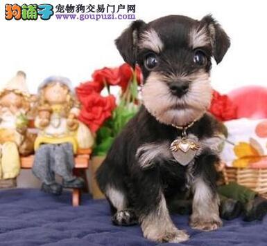 极品雪纳瑞幼犬,注射芯片颁发证书,质保健康90天