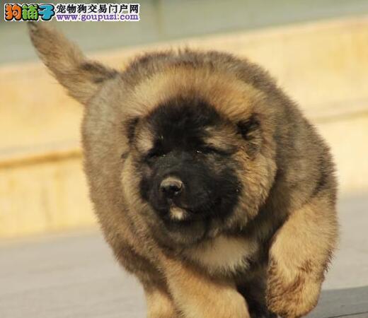 双血统高加索 高加索牧羊犬黄浦市出售公母都有