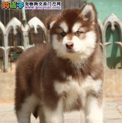 狗舍直销好品质杭州阿拉斯加雪橇犬证书齐全