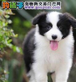 南川市出售边境牧羊犬 纯种健康 公母可选 可上门挑选