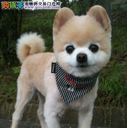 大型实体店热销哈多利杭州博美犬售后有保障4