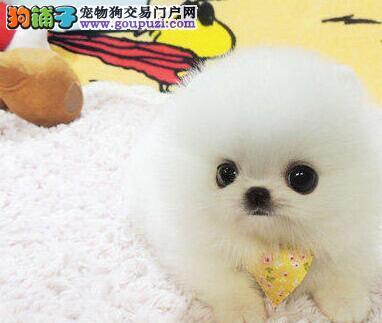 大型实体店热销哈多利杭州博美犬售后有保障2