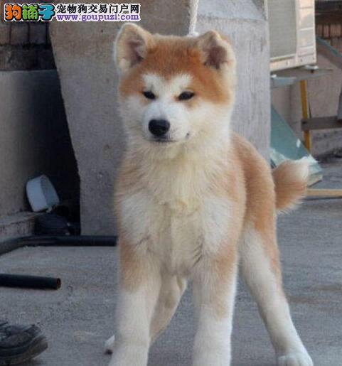 自家繁殖秋田犬出售公母都有冠军级血统品质保障