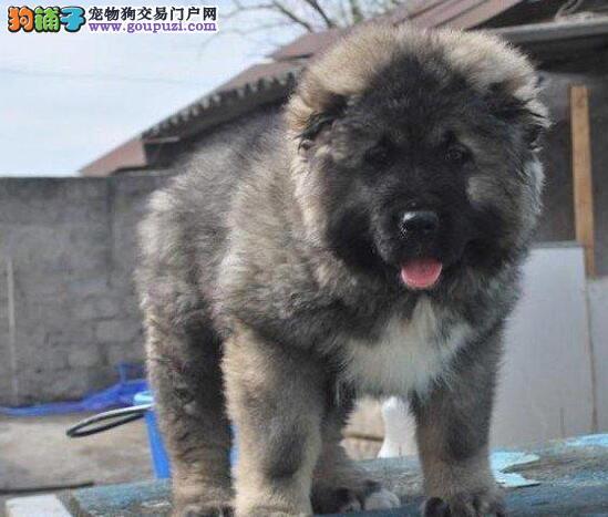狼青色品相完美的广州高加索犬便宜出售哪里有卖 绝对品质优秀