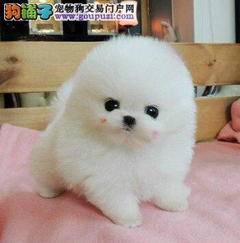 临汾出售红棕色 纯白色博美犬幼犬 精品爆炸毛博美宝宝