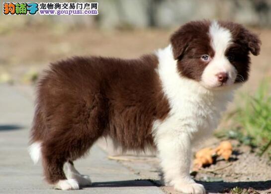 天津赛级边境牧羊犬幼犬价格公道出售 疫苗做完质保