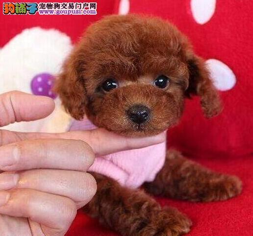 精品韩系泰迪犬长春犬舍直销 身体健康和血统有保证1