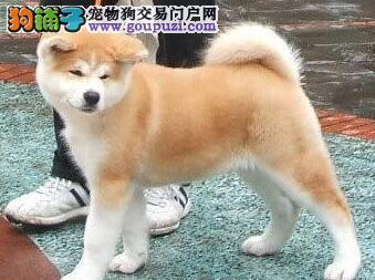 纯种日系秋田犬宝宝 CKU血统认证